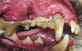 A dogs teeth covered in plaque
